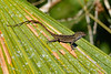 Anole-EmeraldaMarsh-5-1-20-SJS-001