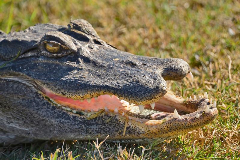 Alligator-Injured-LAWD-FL-3-19-17-SJS-001
