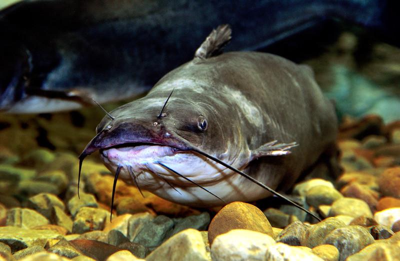 ChannelCatfish-003