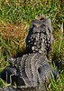 Alligator-Injured-LAWD-FL-3-19-17-SJS-011