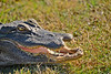 Alligator-Injured-LAWD-FL-3-19-17-SJS-002