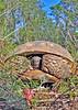 GopherTortoise-SawgrassPreserveLakeCoFL1-14-17-SJS-03