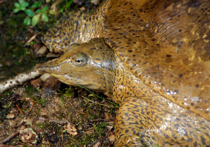 Eastern Spiny Softshell Turtle - West Virginia