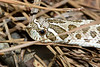 HognoseSnake-HamptonVA-9-30-19-SJS-003