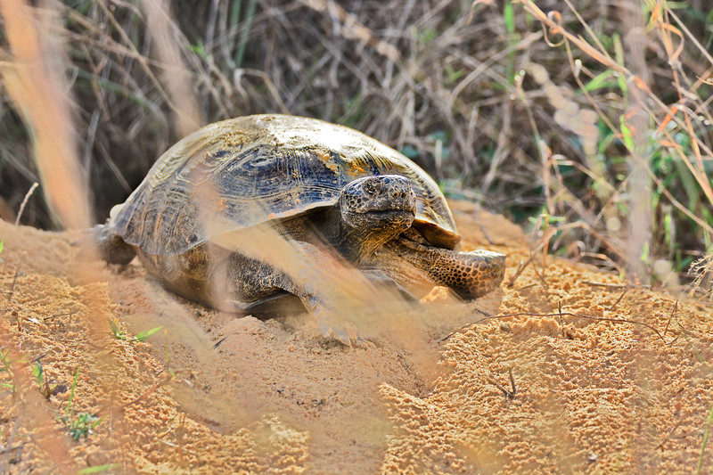 GopherTortoise-LakeCoFl-1-2-17-SJS-025