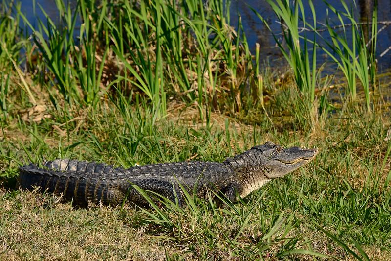 Alligator-Injured-LAWD-FL-3-19-17-SJS-007