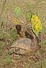 GopherTortoise-SawgrassPreserveLakeCoFL1-14-17-SJS-08
