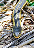 YellowRatSnake-MaumeeBayStatePark-5-18-17-SJS-001