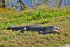 Alligator-Injured-LAWD-FL-3-19-17-SJS-003