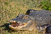 Alligator-Injured-LAWD-FL-3-19-17-SJS-004