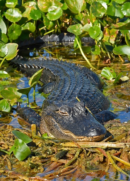 Alligator-OrlandoWetlandsFl-11-26-17-SJS-002