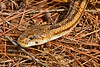 YellowRatSnake-LYE-9-24-18-SJS-006