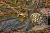 LeopardFrog-SawgrassPreserveFL-10-20-18-SJS-003