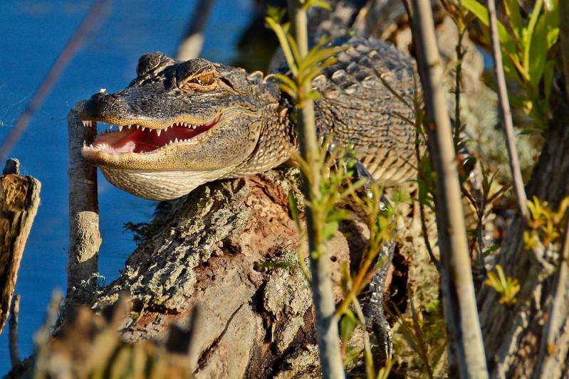 Alligator-LAWD-FL-2-25-17-SJS-004