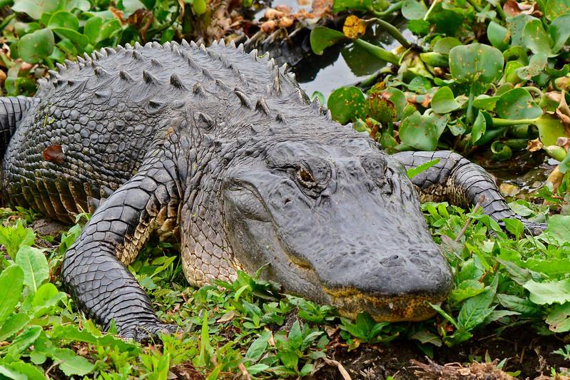 Alligator-PaynesPrairieSP-FL2-21-17-SJS-004