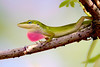 GreenAnole-OaklandNaturePreserve-FL-2-28-17-SJS-001