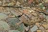 DesertSpinyLizard-AZ-7-30-17-SJS-004