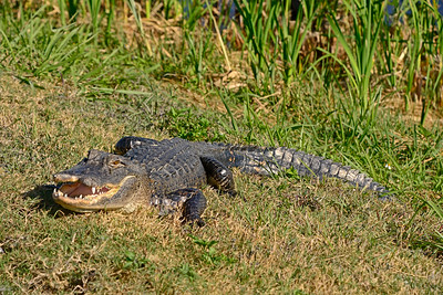 Alligator-Injured-LAWD-FL-3-19-17-SJS-006
