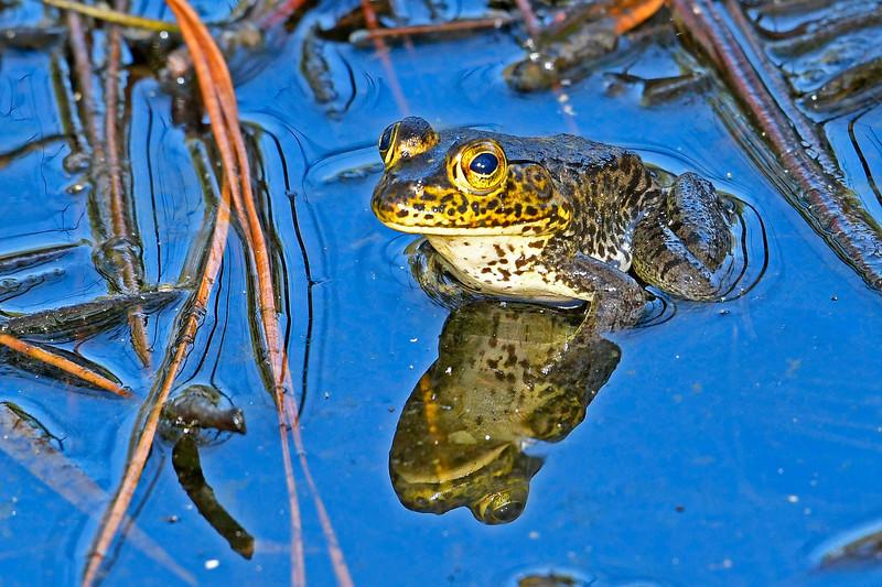 AmericanBullfrog-SawgrassPreserveFL-10-20-18-SJS-001