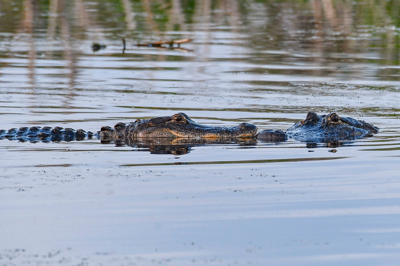 Alligator-LAWD-3-10-19-SJS-010
