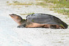 SoftshellTurtle-EmeraldaMarsh-5-24-20-SJS-01