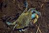ChesapeakeBlueCrab-OuterBanksNC-10-1-19-SJS-002