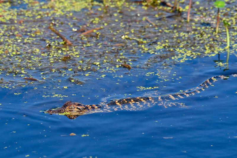 Alligator-SunnyhillRestorationArea-4-30-20-SJS-11