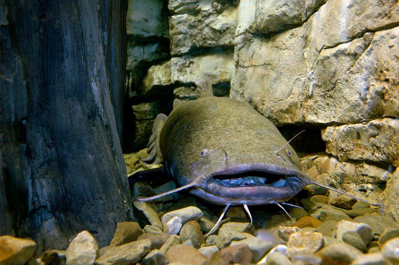 FlatheadCatfish-001