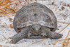 GopherTortoise-EmeraldaMarsh-4-14-20-SJS-003
