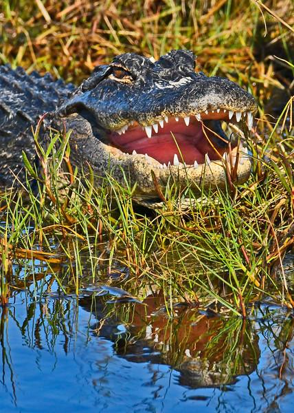 Alligator-MerrittIslandNWRFL-12-10-17-SJS-004