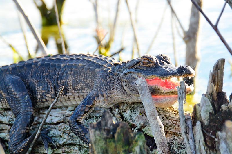 Alligator-LAWD-FL-2-25-17-SJS-002