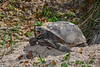 GopherTortoise-OaklandNaturePreserve-2-25-19-SJS-002