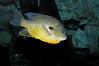 LongearSunfish-001