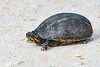 3StripedMudTurtle-EmeraldaMarsh-12-23-19-SJS-001