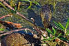 WaterMoccasin-EmeraldaMarsh-FL-3-25-18-SJS-002