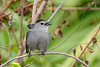 GrayCatbird-MerrittIslandNWR-FL-1-10-17-SJS-03