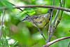 Black-throatedBlueWarbler-Female-MM-5-17-17-SJS-006