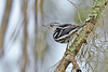 Black&WhiteWarbler-LakeYale-2-22-17-SJS-001