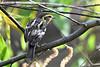 BlackburnianWarbler-Female-MM-5-17-17-SJS-003