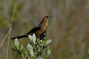 Boat-tailedGrackle(female)-002