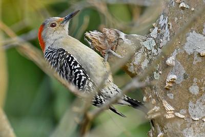 RedBelliedWoodpecker-LAWD-2-3-18-SJS-012
