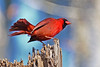 CardinalMale-LakeYaleEstatesFl-1-14-17-SJS-021
