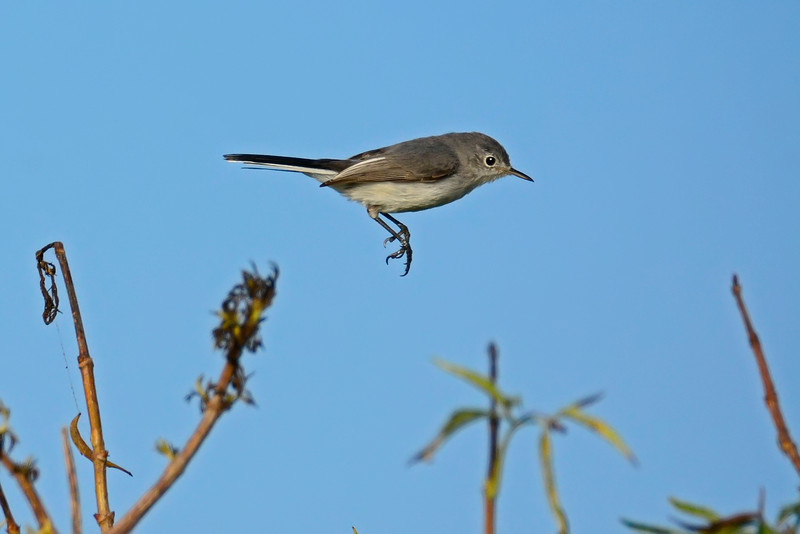 Blue-GrayGnatcatcher2016-SJS-001