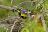 AudubonWarblerWestYellowstoneMT-2016-sjs-003