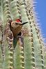 GilaWoodpecker-AZ-2015-001