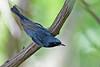 Black-throatedBlueWarbler-MM-5-17-17-SJS-002