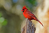CardinalMale-LakeYaleEstatesFl-1-14-17-SJS-001