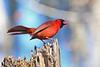 CardinalMale-LakeYaleEstatesFl-1-14-17-SJS-025