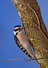 DownyWoodpecker-sjs-10