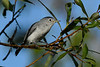 Blue-grayGnatcatcher-CircleB-Bar-FL-11-7-17-SJS-003